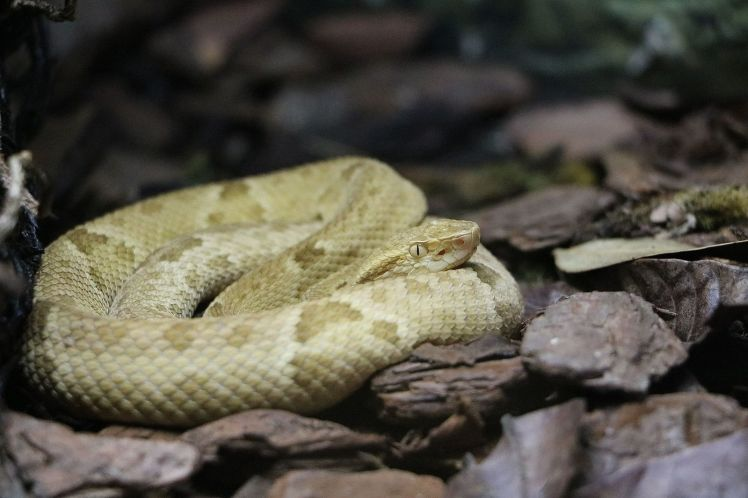bothrops_insularis