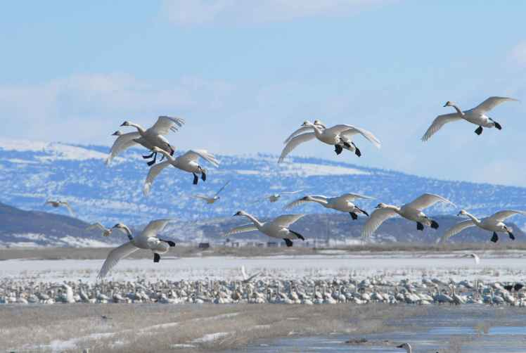 swans-in-flight-during-winter-migration