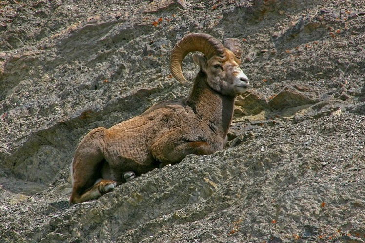 Bighorn sheep sitting on the edge of a cliff