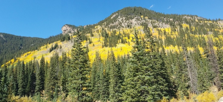 Yellow Aspens and green pines with a blue sky above