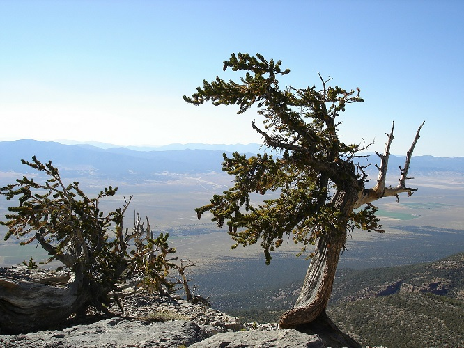Great Basin National Park in Nevada. A tree with some faded mountains in the background